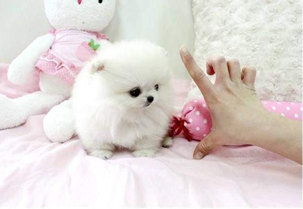 NPZ Cute Little Pomeranian Puppies text 804 286 1476