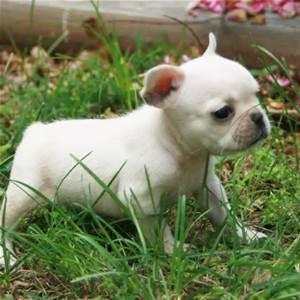 bgcvbcg Healthy F.R.E.N.C.H B.U.L.L.D.O.G puppies!!!(515) 605-7659