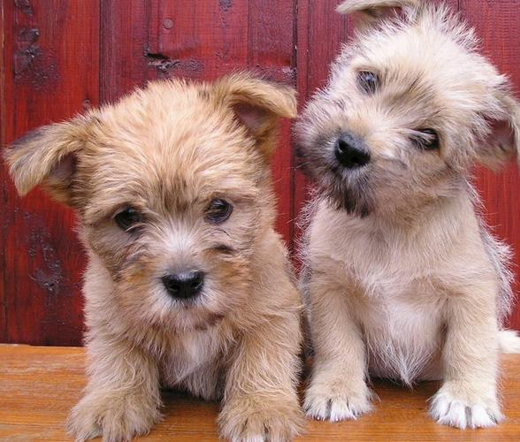 zasidhau cute cairn terrier puppies m/f