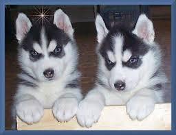 dfxttf uy s.i.b.e.r.i.a.n. h.u.s.k.y puppies!!!(508) 622-5152