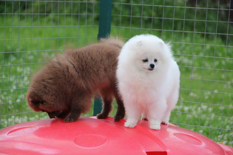 Quality Female and Male Pom.meraniann Pu.pp.ies (412) 819-3631