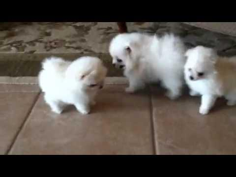 Cute Female and Male Pom.meraniann Pu.pp.ies available (302) 585-5026