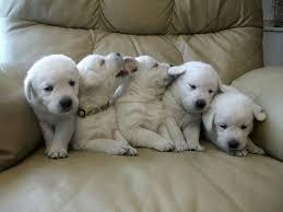 Labrador puppies ready for adoption