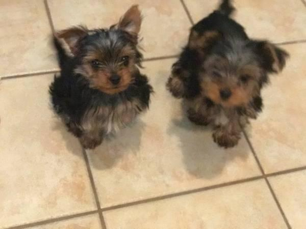 2 female yorkie puppies great for Valentines