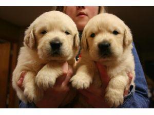 Smart  Quality Golde.n Retrieve.r Pups . (434) 248-0822