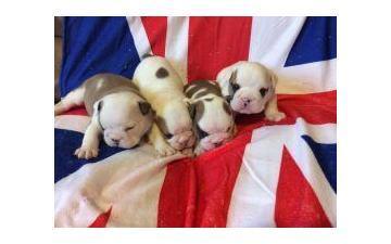 Affectionate M/F English B.u.l.l.d.o.g Puppies!!! 410 343 9303