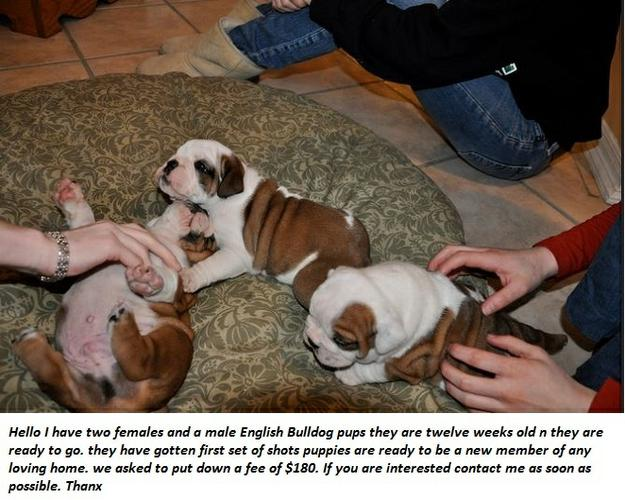 Affectionate M/F English B.u.l.l.d.o.g Puppies!!! 410 343 9303