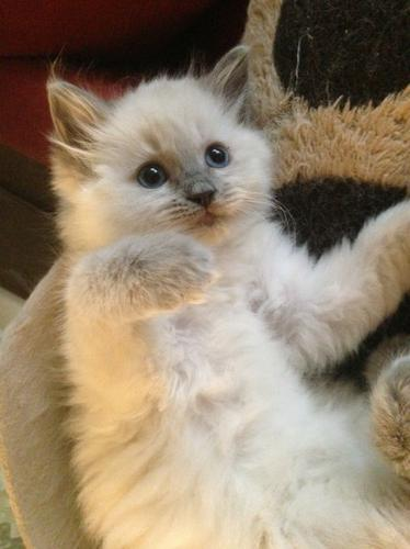 5 Gorgeous Pure Ragdoll Kittens Ready To Go Today