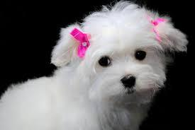 We have FREE beautiful and Cute M.A.L.T.E.S.E Puppie.s  We have beautiful and Cute M.A.L.T.E.S.E P