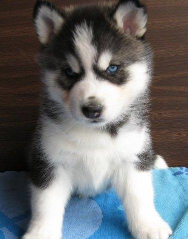 FREE Quality siberians huskys Puppies:contact us at(201)588 6801