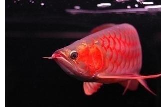 Top Quality 24k Golden, Red arowana, Rtg, Super red, Asian Red