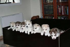 Both males and females Pomskies/Huskies  Pups SMS me @ (857) 997-2431