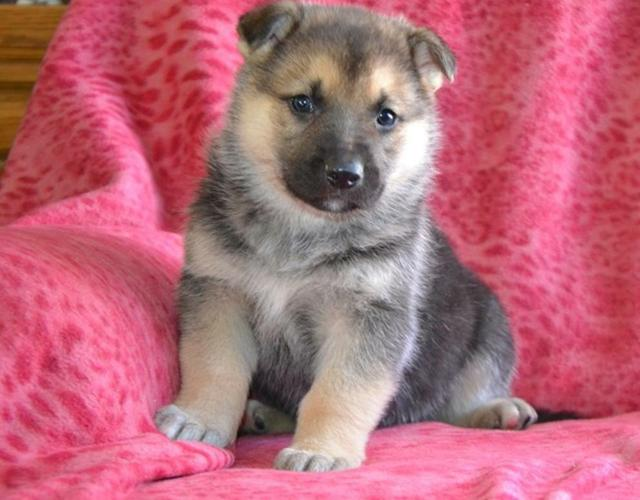 Male and Female Siberian husky  Pups Ready Now
