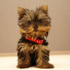 Amazing Yorkshire Terrier puppy!  3205004602