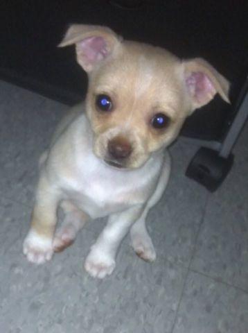 Healthy C.H.I.H.U.A.H.U.A puppies!!!(737) 932-7041
