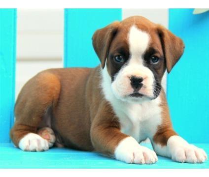 Healthy Boxe.r puppies!!!(650) 434-7383