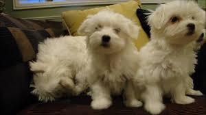 2 CUTE M.A.L.T.E.S.E Puppies (205) 900-0185  :???