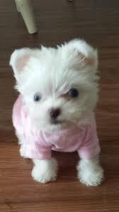 ???Top Quality Malteses Puppies:....contact us at(205) 900-0185   ???