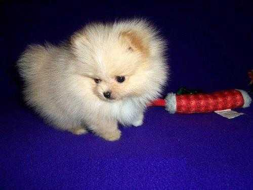 ? Quality Pome.ranian Puppies Available??contact us at (312) 809-7896.
