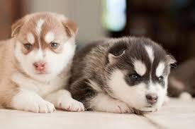 FREE FREE  Quality male and female sib.erians hus.kys Puppies:SMS (630) 509-7004