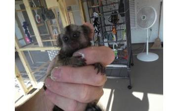 ....FREE Quality marmoset monkeys:contact us at  text,347,467,4576