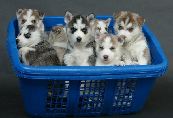 Free Blue Eyes G.orgeous Pu.ppies Not For Sell Free) Need Home (501) 492-9878