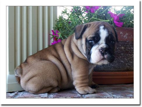 Affectionate M/F English B.u.l.l.d.o.g Puppies!!!(469) 364-4760
