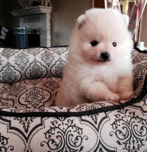 Super Cute P.om.eranian Puppy Ready contact (980) 677-0536