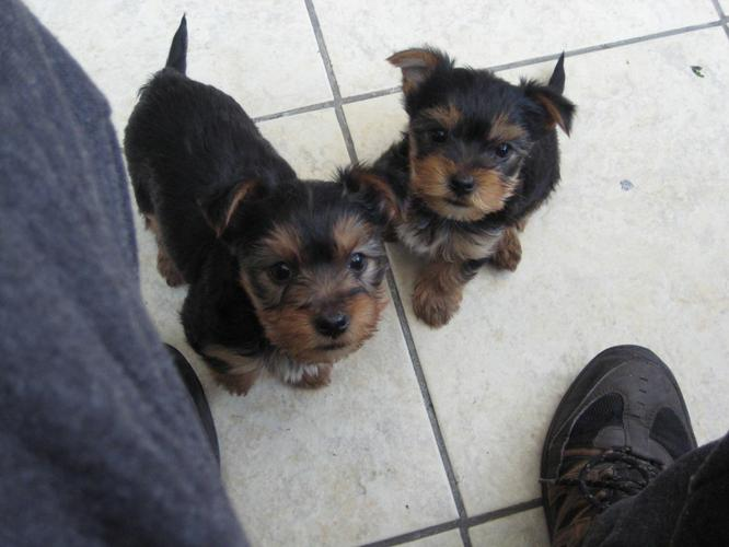 ?Y.o.R.k.i.e P.upp.i.e.s For F.r.e.e, Ready Now 11 Weeks Old # (587) 771-1691