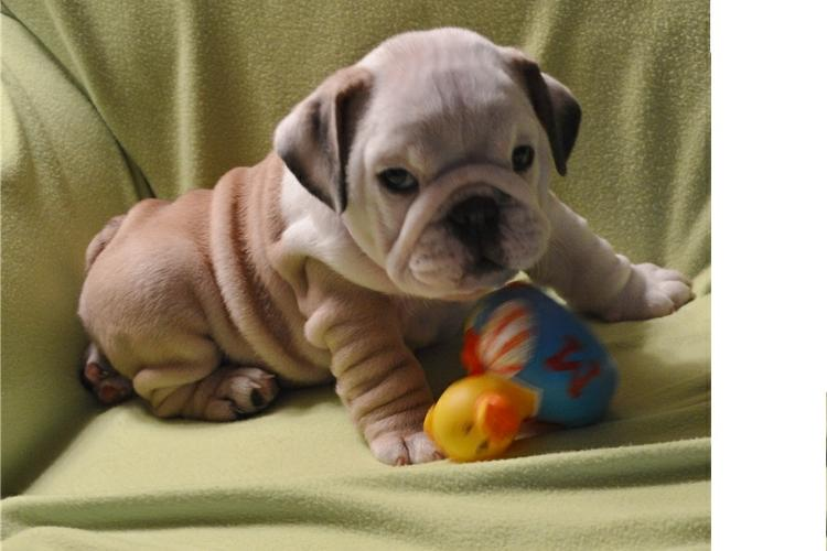 Quality English Bulldogs Puppies:???contact us at (410)424-6120