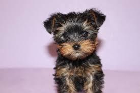 Trained Tea-cup Yorkies Pu.ppies ) Need Hom  (240) 466-8033 We have 2 beautiful gorgeous Tea