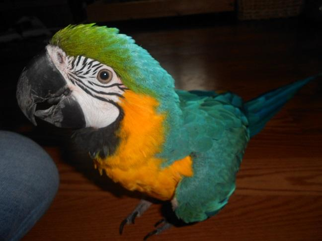 Pretty Female and Male B.L.U.E A.N.D G.O.L.D MACAW BIRDS