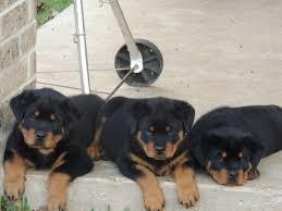 Two Gorgeous R.o.t.t.w.e.i.l.e.r Puppies Available. (408) 703-7118
