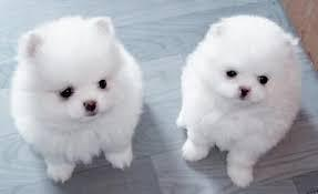 !!Male and Female Pomeranianss Puppies Available (484)258-3183