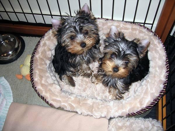 ?Y.o.R.k.i.e P.upp.i.e.s For F.r.e.e, ((469) 215-1691/Ready Now 12 Weeks Old #
