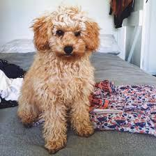 Rescue  and  Adoption: Adopt a Teacup toy  Poodle