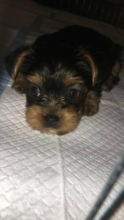 yorkiez puppiesz for new yearz Good Home (409) 751-2244
