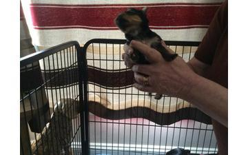 Yorkshire Terrier Puppies. text .(832) 241-5428/