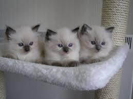 OUTSTANDING R.A.G.D.O.L.L. kittens contact :(410)424-6120