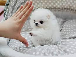 Healthy P.O.m.A.R.A.N.I.A.N puppies for free (972) 483-5620