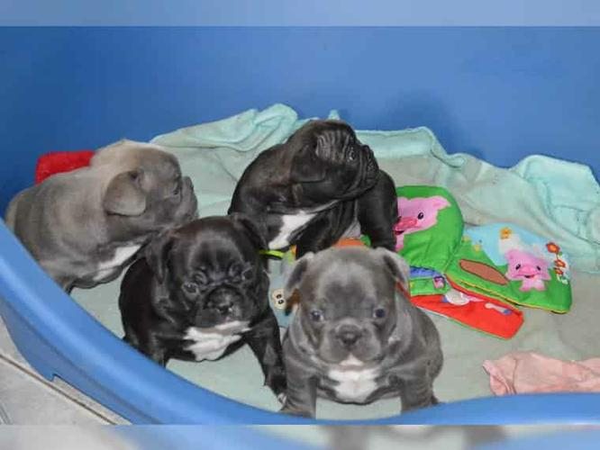 CUTIE F.R.E.N.C.H B.U.L.L.D.O.G Puppies: contact us at (916) 287-3304