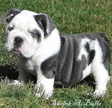 Free Gorgeous Englishh Bulldoggs Pu.ppies ) Need Hom