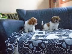 !!!!!TEXT AND CARRY HOME A POMERANIAN PUPPIES AVAILABLE FOR NEW HOMES