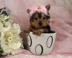 Cute Quality y.o.r.k.i.e P.u.p.s (443) 267-8170