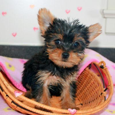 @@Amazing Yo.r.kie P.u.ppy For Free,(240) 232-5244  /Ready Now 11 Weeks Old