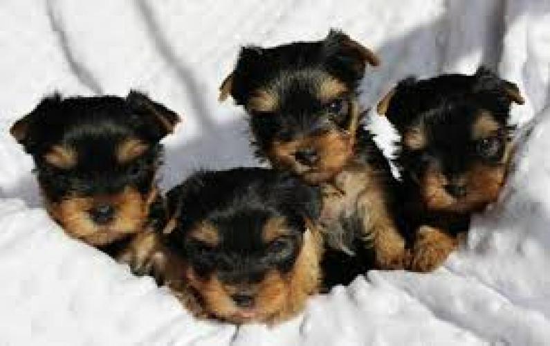 @@Amazing Yo.r.kie P.u.ppy For Free,(915) 257-0783 /Ready Now 11 Weeks Old