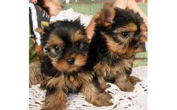 CUTE Y.O.K.I.E. Puppies: contact us at (240) 558-8065