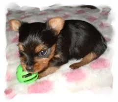 # # ??? WowQuality Teacup Yorkies Puppies:....contact us at/(540) 632-2282!L