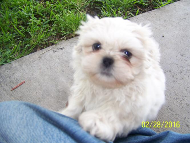 AKC Pure Gorgeous Rare White Shih Tzu Puppies