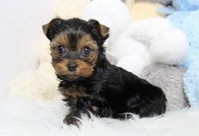 Teacup Y.o.r.k.i.e Puppies For Rehome Contact# (410) 709-8104...;';